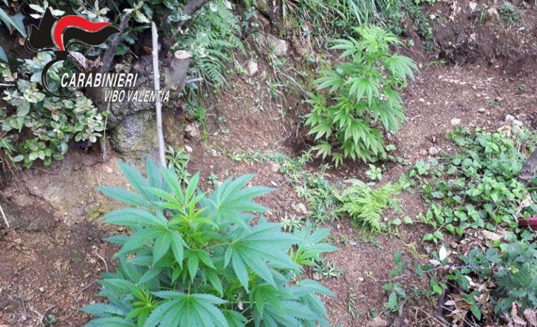 Nardodipace, piantagione di marijuana scoperta e distrutta a Ragonà