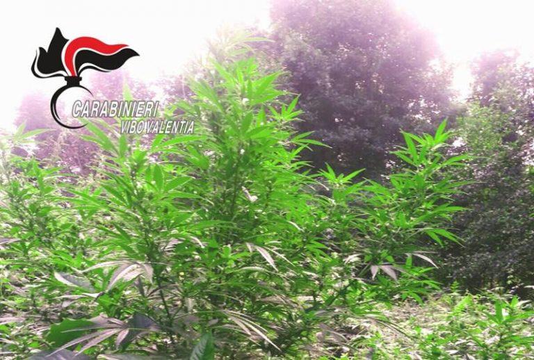 Vallelonga, individuata e distrutta piantagione di cannabis