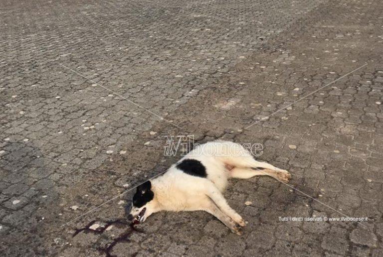 Ancora un cane avvelenato a Mileto, continua la strage