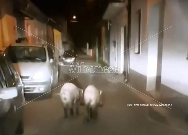 Cinghiali in pieno centro abitato nel Vibonese, continua l'emergenza (VIDEO)