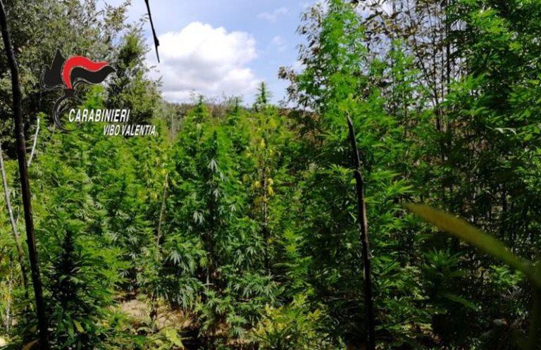 Marijuana: 420 piante scoperte dai carabinieri a Fabrizia