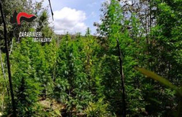 Marijuana, piantagione da 800mila euro scoperta dai Carabinieri nelle Serre
