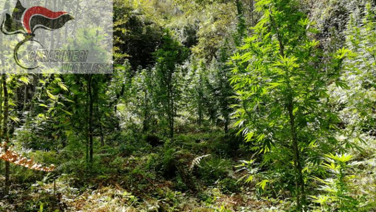 Marijuana: 75 piante scoperte dai carabinieri nel Vibonese
