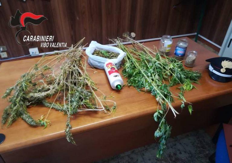 Coltivava marijuana nell'orto dietro casa, arrestato 57enne vibonese