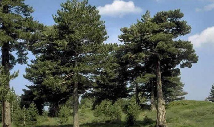 Esemplari di pino laricio