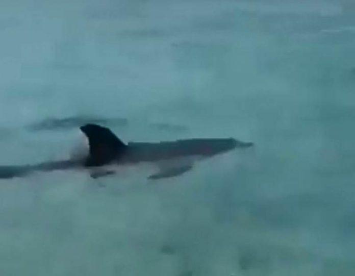 Il cucciolo di delfino