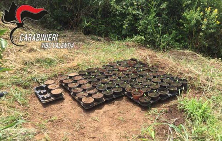 Coltivazione di marijuana a Longobardi, due condanne a Vibo