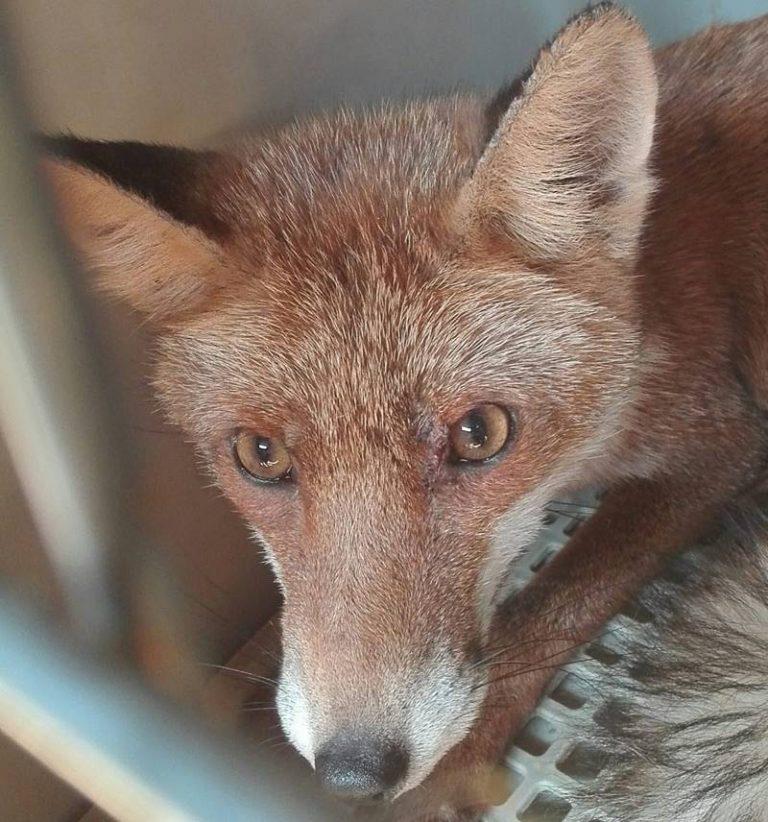 Rischia di finire sbranata dai cani, volpe curata e rimessa in libertà nell'oasi dell'Angitola