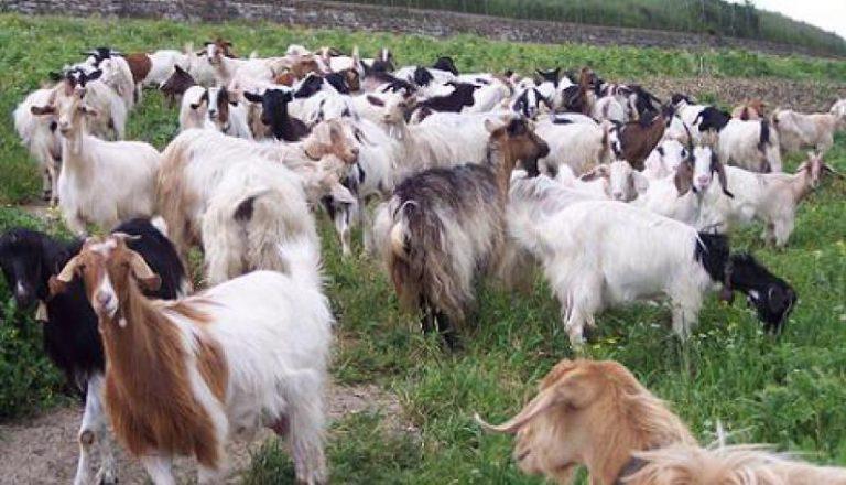 Capistrano, pastore disabile derubato di 38 capre e… due cani