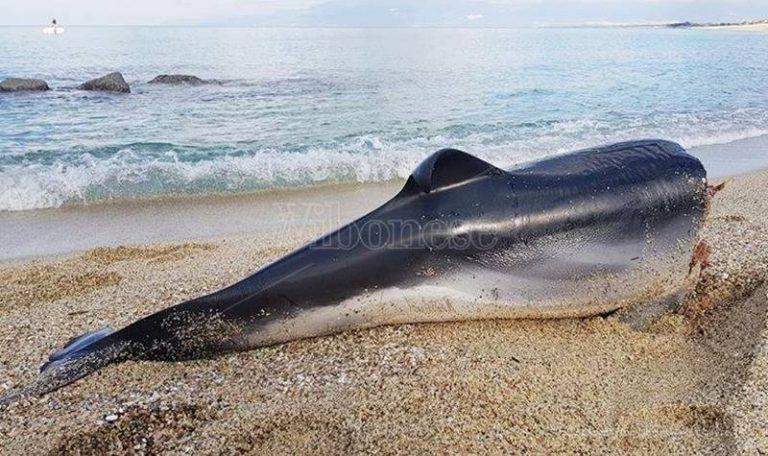 Scempio su un delfino a Pizzo: la carcassa decapitata ritrovata sulla spiaggia