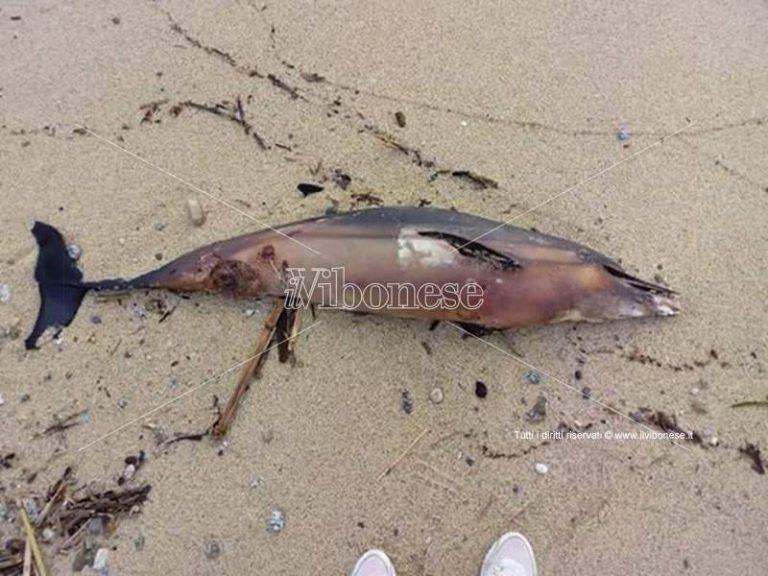 Carcassa di delfino rinvenuta sulla spiaggia di Santa Maria