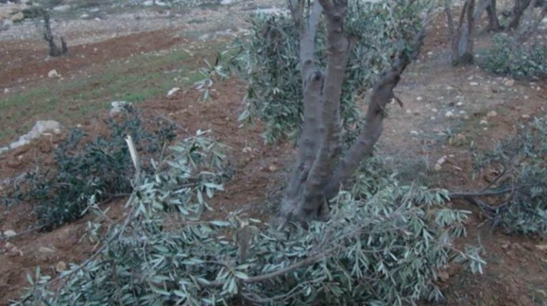 Raid criminale in una campagna di Filandari, distrutti alberi di ulivo