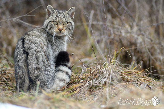 Un gatto selvatico (foto Macioce)
