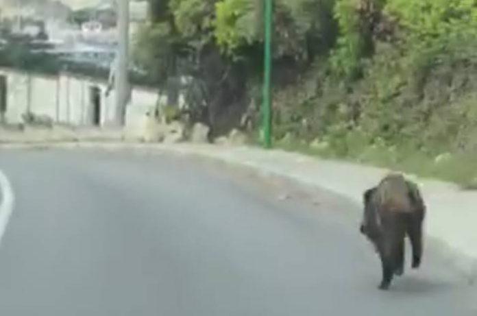 Il cinghiale filmato per strada a Tropea