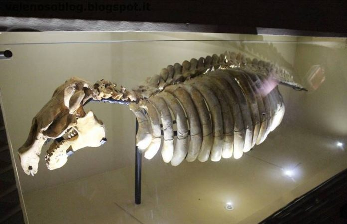 Scheletro di Sirenide. Uno simile è esposto al MuMaT