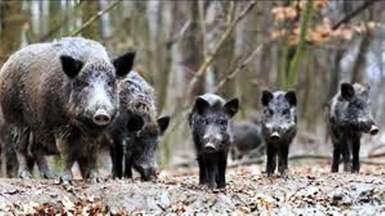 Emergenza cinghiali, Pitaro: «Presto filiera delle carni. Sarà occasione di sviluppo»