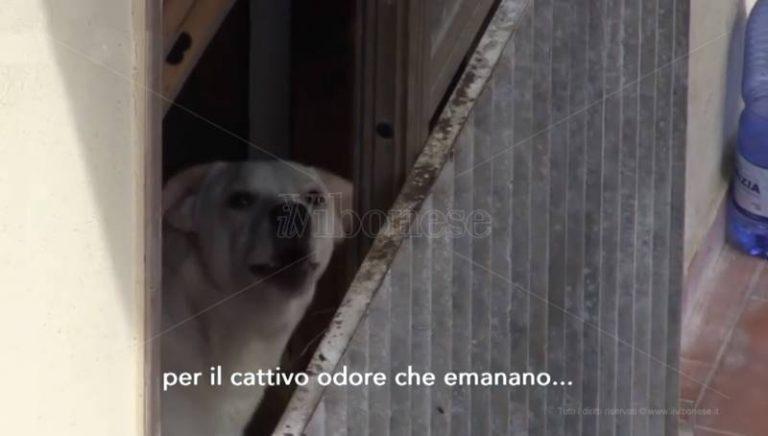 Convive con 18 cani a Vibo, condomini esasperati denunciano senza esito – Video