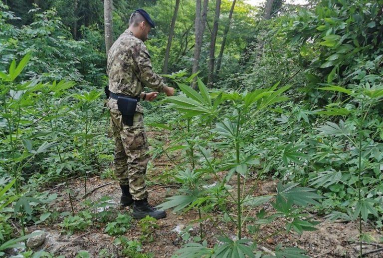Marijuana nelle Serre vibonesi, rinvenute due piantagioni del valore di 500mila euro