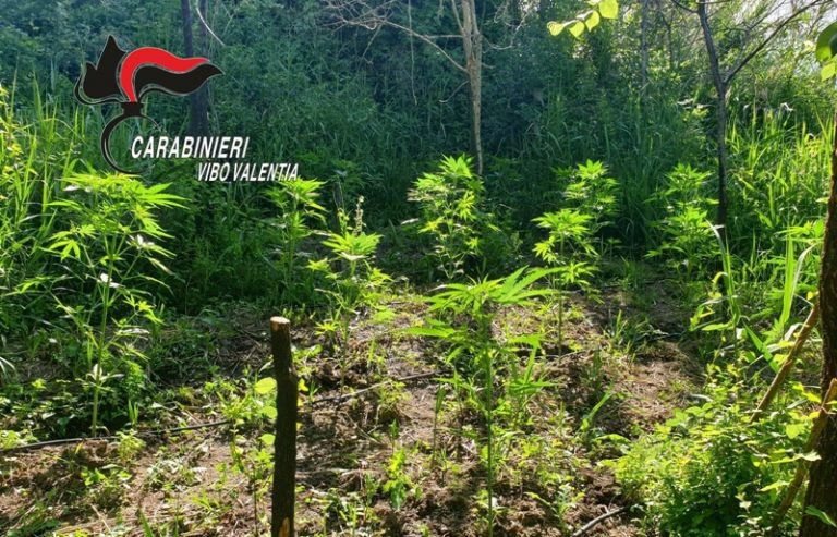 Piantagione di cannabis su un terreno demaniale scoperta a Nardodipace