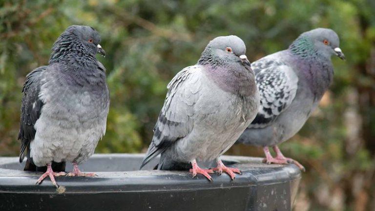 Parghelia, una nuova ordinanza mette al bando… i piccioni