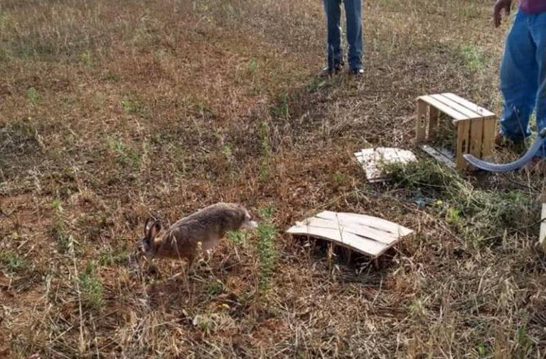 Caccia: nel Vibonese immessi migliaia di esemplari di lepri, fagiani e starne