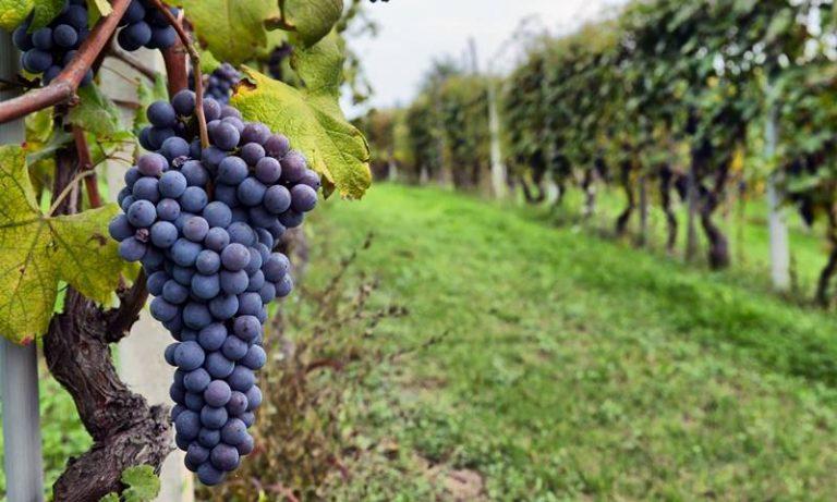 """Il risveglio dei vignaioli vibonesi, ora si punta alla Doc """"Costa degli Dei"""""""