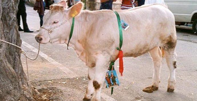 Riffa con vitella a Brattirò, diffida della Lav