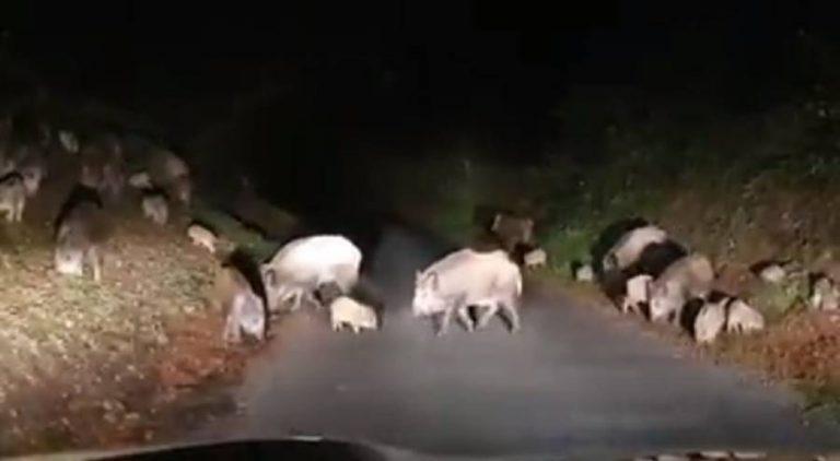Branco di cinghiali sulla strada, lo spettacolare avvistamento di un automobilista – Video