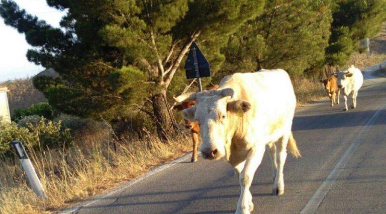 """Vacche """"sacre"""" nel Vibonese, scatta la denuncia contro ignoti – Video"""