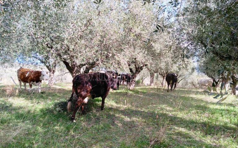 """Zungri, le """"vacche sacre"""" di Peppone Accorinti devastano i raccolti – Video"""