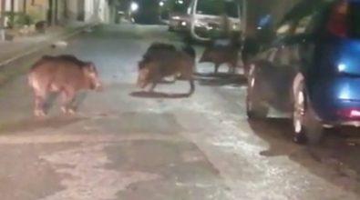 Parghelia, branco di cinghiali banchetta per strada – Video