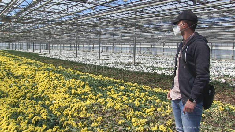 Pizzo, l'effetto lockdown manda al macero milioni di fiori – Video