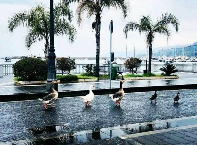 """Oche a passeggio a Vibo Marina: """"È la natura che si riprende i suoi spazi"""""""