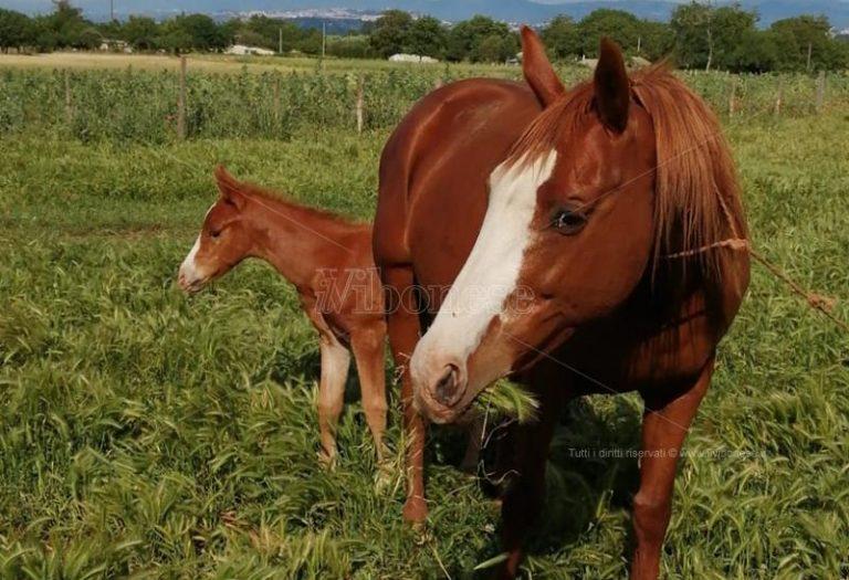 Furto di cavalli a Zungri, al via le ricerche