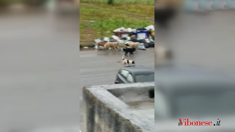 Contrada Vaccaro, là dove branchi di randagi pascolano tra i rifiuti – Video