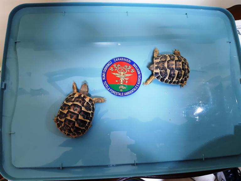Vendono due tartarughe in via d'estinzione: denunciati dall'Arma