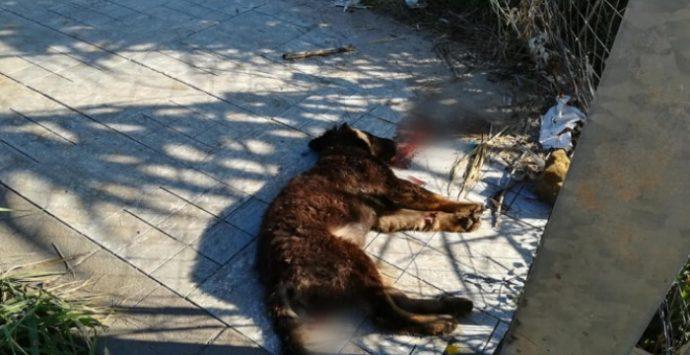 Randagismo, ancora un cucciolo trovato morto: è allarme a Briatico