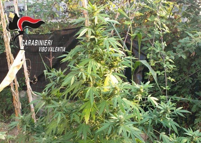 Acquaro, intervengono per un incendio e scoprono una coltivazione di marijuana