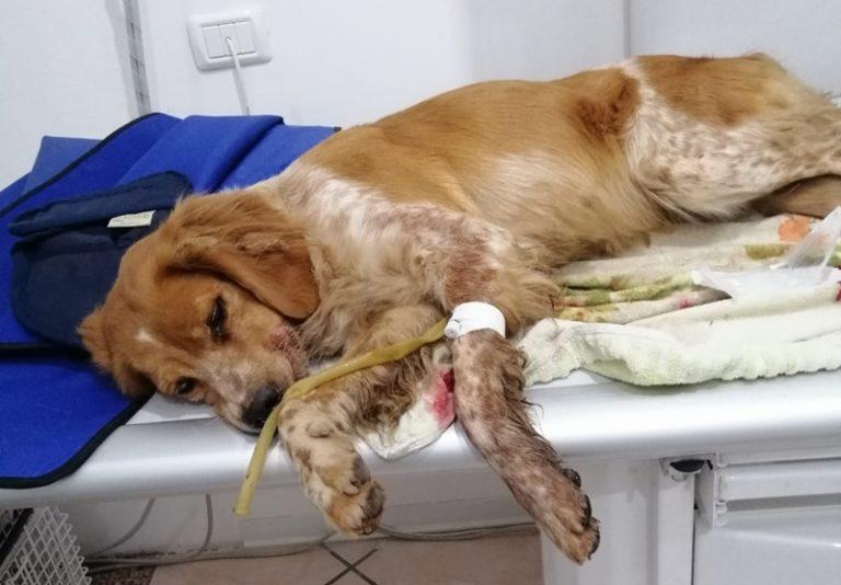 Cagnolina investita due volte a Vibo e salvata dalle volontarie dell'Enpa