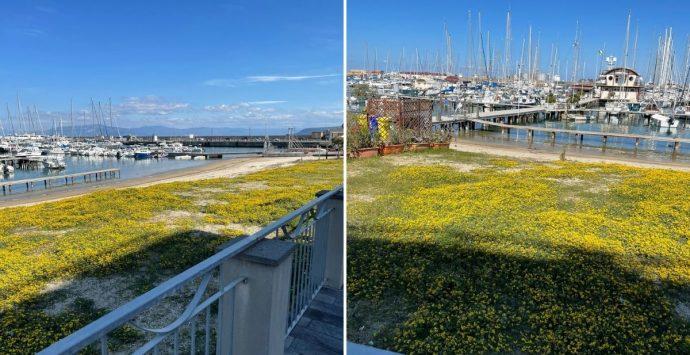 Vibo Marina, il prato fiorito in riva al mare: insolito fenomeno al porto