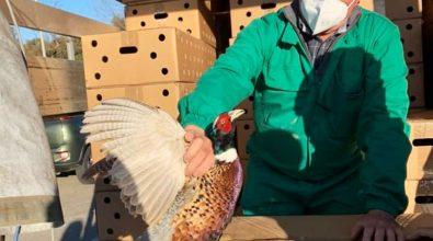 Ambito territoriale di caccia Vibo1, immessi in natura 700 fagiani