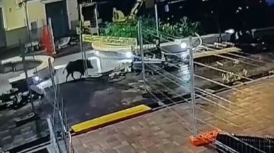 Cinghiale a spasso nel centro di Tropea: ecco il video dell'incursione