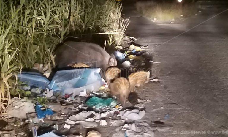 """Il pasto dei cinghiali tra i rifiuti di Vibo Marina """"disturbato"""" dai fari di un'auto – Video"""