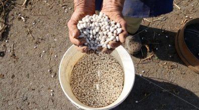 """La """"sujaca"""" di Caria: i fagioli bianchi vero tesoro del Monte Poro – Video"""