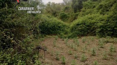 Dasà, rinvenuta piantagione di canapa: avrebbe fruttato 200mila euro