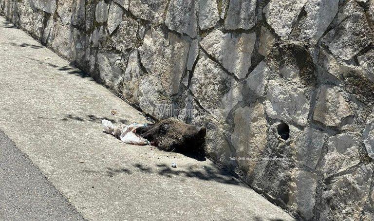 Mileto, macabro ritrovamento: testa di cinghiale gettata sulla statale 18