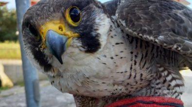 Il Wwf recupera cinque uccelli in difficoltà