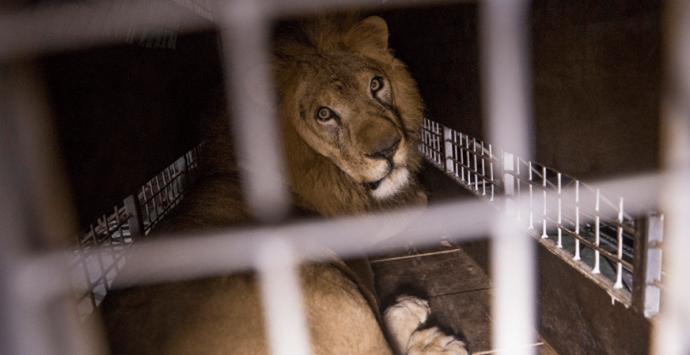 Rinascita Scott, Bartolomeo Arena: «Pardea voleva uccidere un leone ai titolari del circo»