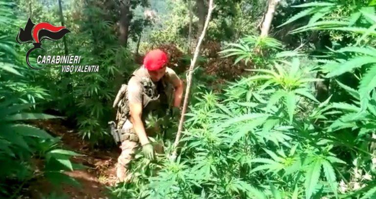 Marijuana: piantagione scoperta dai carabinieri a Nardodipace