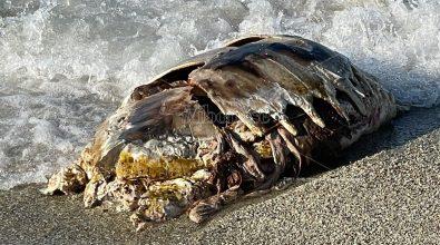 Carcassa di tartaruga recuperata nelle acque di Briatico